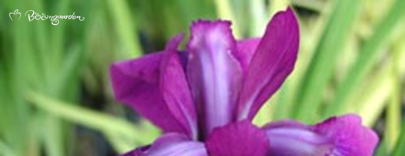 http://www.gaissmayer.de/index/seiten/iris-schwertlilien/iris-schwertlilien.htm